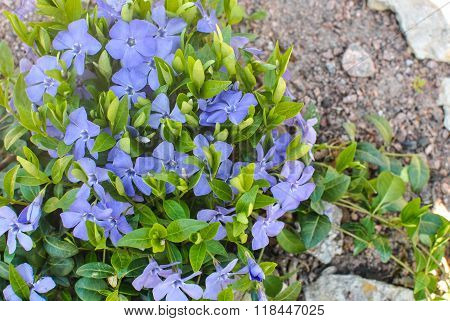 Lesser Or Dwarf Periwinkle Vinca Minor