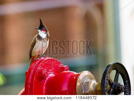 Red Wiskered Bulbul.