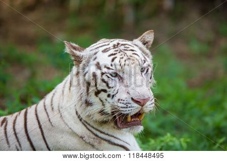 White Tiger India.