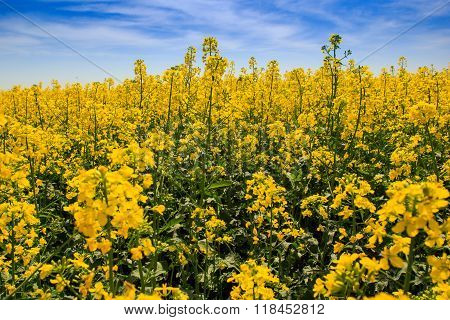 View Of Yellow Rapeseed Field In Blossom By Forest