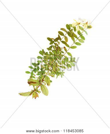 Pressed And Dried Flower Hypericum Perforatum.
