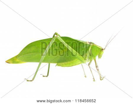 Green giant katydid Stilpnochlora couloniana isolated over white