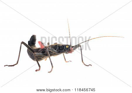 black stick insect Peruphasma schultei isolated over white