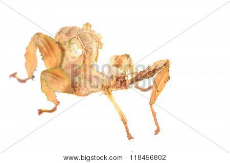 stick insect Extatosoma tiaratum isolated over white