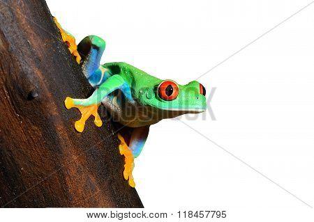 Red-eye tree frog Agalychnis callidryas over white background