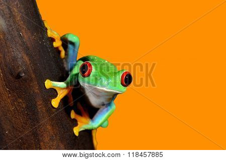 Red-eye tree frog Agalychnis callidryas over orange background