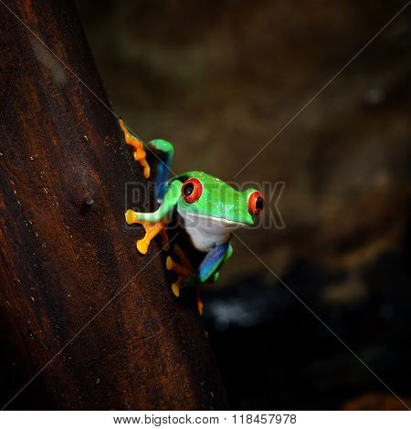 Red-eye tree frog Agalychnis callidryas on a tree