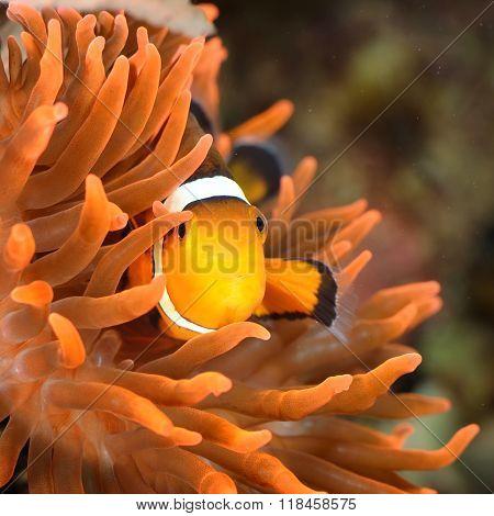 Clownfish (Amphiprion) in marine aquarium with anemones