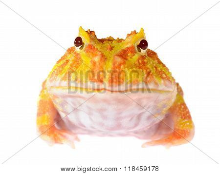 Ornate Horned Frog (white Form) Ceratophrys Ornata Isolated On White