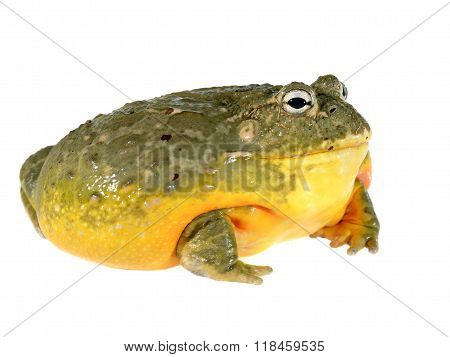The African Bullfrog Pyxicephalus Adspersus Isolated On White