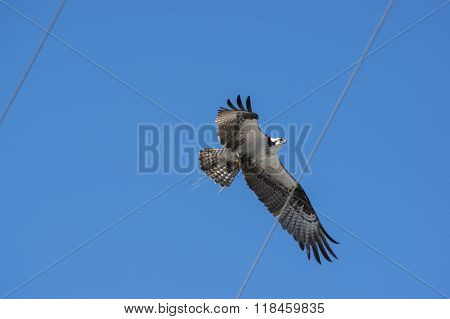 Osprey Bird Over Power Lines