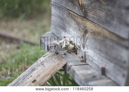 Bees close up near beehive. Wood old beehive. Wood texture. Grey