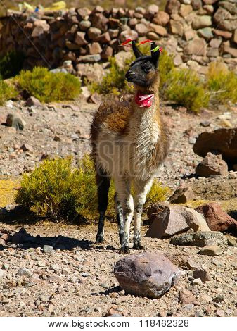 Young llama with colorful tassels