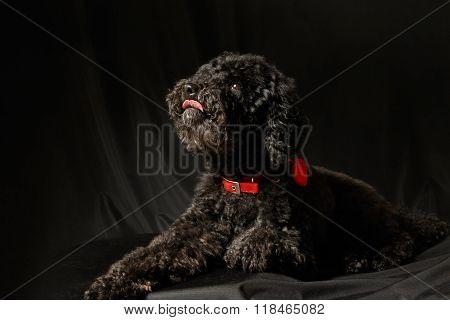 Black Poodle Lying On The  Black Background