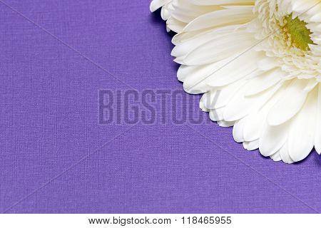 White Gerbera Flower On The Corner On Purple Background