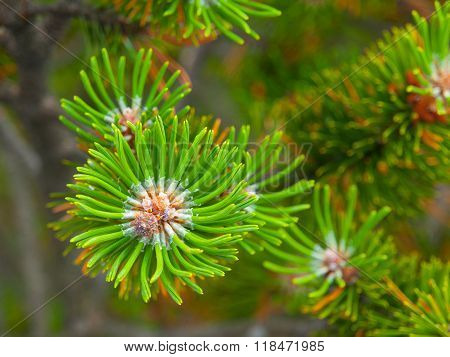 Pine branch detailed view