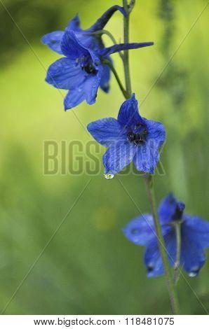 Harebell Wildflowers Campanula