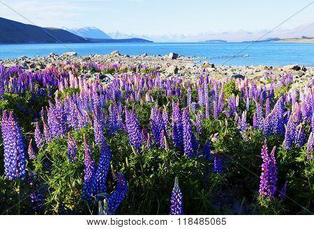 Lupines season in Lake Tekapo