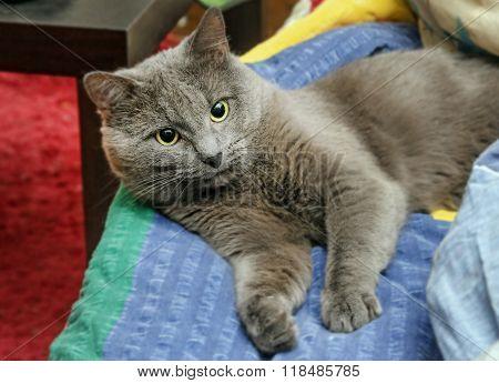 Grey Cat Sprawled In Bed