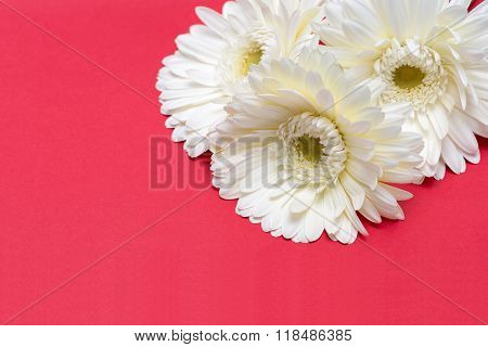 Three White Gerbera Flower On Red Background