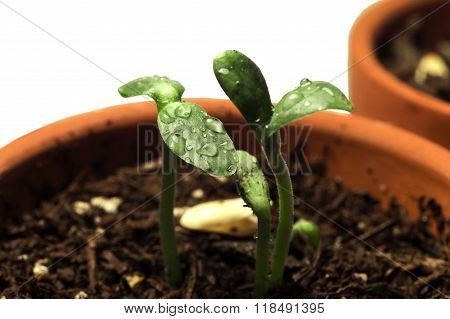 Green Sprouts With Water Droplets