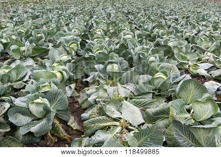Field Of Growing Cabbage