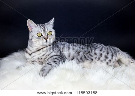 British Short Hair Silver Tabby Cat Lying On Sheepskin
