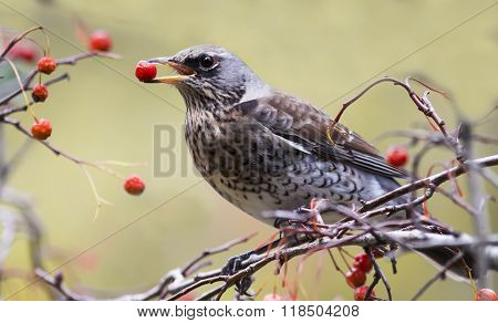 the Blackbird holds the red berries of Rowan in its beak at a Park in autumn