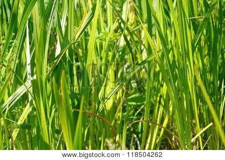Sedge Green Background.