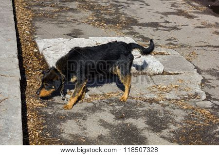 Frightened black dog with a collar and chain