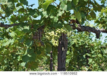 The Grape Gardens