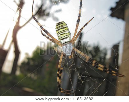 Argiopa Spider On The Web