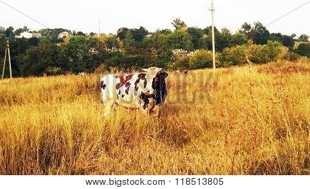 cow on the meadow