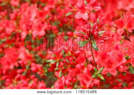 Soft focus of Azalea japonica red flowers ready to bloom in spring with blurred background