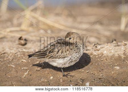 Dunlin, Calidris Alpina, Resting On The Sand