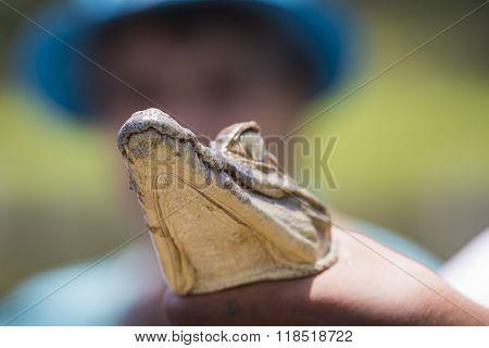 Black Caiman (melanosuchus Niger) In Amazon Rainforest Brazil