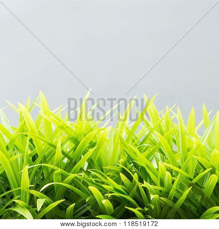 Pandan on a gray background.It is ingredient for dessert of Thai.