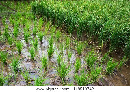 Rows Of Paddy Rice. View Of Young Rice Sprout Ready To Grow In The Field