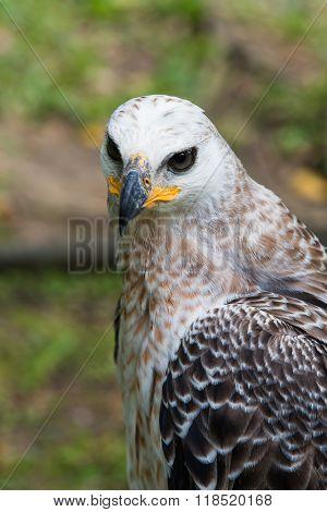 Majestic Harpy Eagle