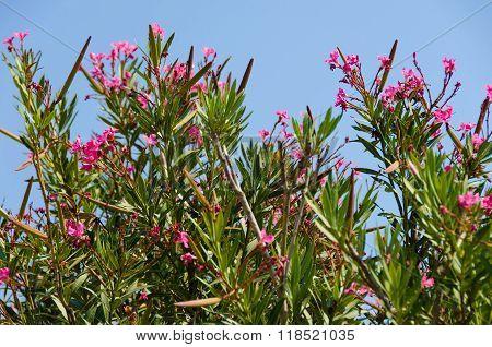 Pink Flowers Oleander