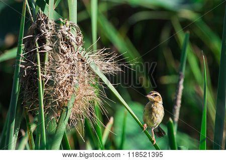Little Lovely Bird : Golden Weaver(female)