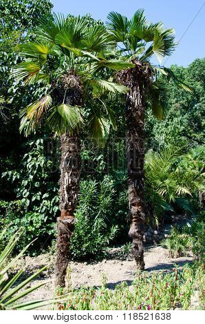 Two Palm Trees In The Garden