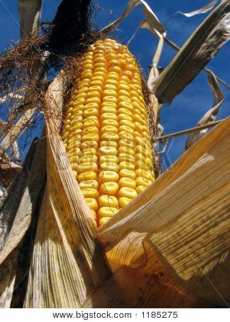 Golden Corn In The Cornfield