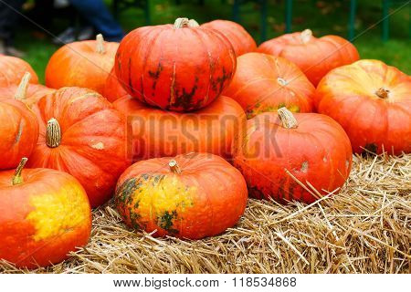 bunch of plump and juicy holiday pumpkins on farm or patch. Orange pumpkins for Jack o'lantern or thanksgiving