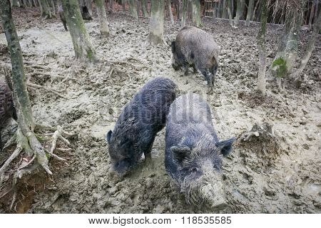 Wild Boars Digging Mud