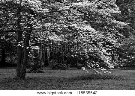 Black and white photo of white dogwood tree in full bloom. Beautiful, mature tree with sweeping branches laden with blossoms.