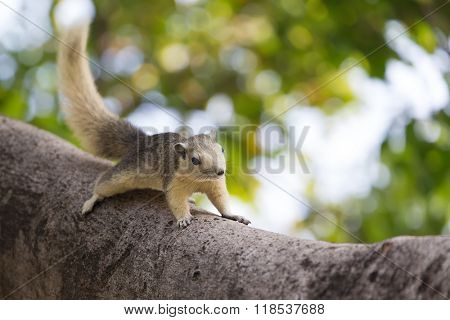 Variable squirrel (Callosciurus finlaysonii), running on a tree branch in a Bangkok's park, Thailand