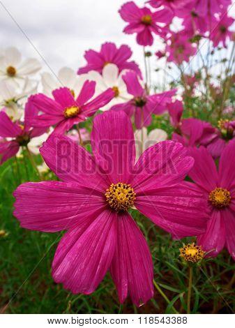 Cosmos Flower Family Compositae In Garden