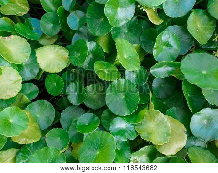 Closeup Of Gotu Kola Leaf,selective Focus, Nature Background Concept.