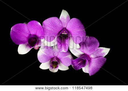 Top View Of Purple Dendrobium Orchid With Droplet In Black Background